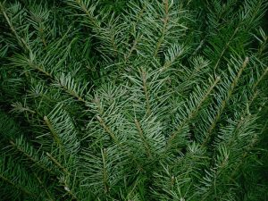 douglas-fir-tree